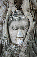 Sandstone head of Buddha surrounded by tree roots, Wat Yai Chaya Mongkol or The Great Temple of Auspicious Victory, Ayutthaya, Thailand