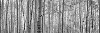 Seemingly glowing black and white this aspen forest was found in the Maroon Bells wilderness on a return hike from West Maroon Pass. In this area, Colorado images and landscapes such as these are easy to find. This Colorado panorama is a stitch of two images and I converted the original image into this black and white format.