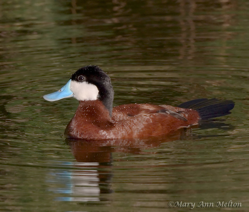 Ruddy Duck in breeding coloration, Sweetwater Wetlands, Tucson, Arizona