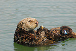 sea otter with tags