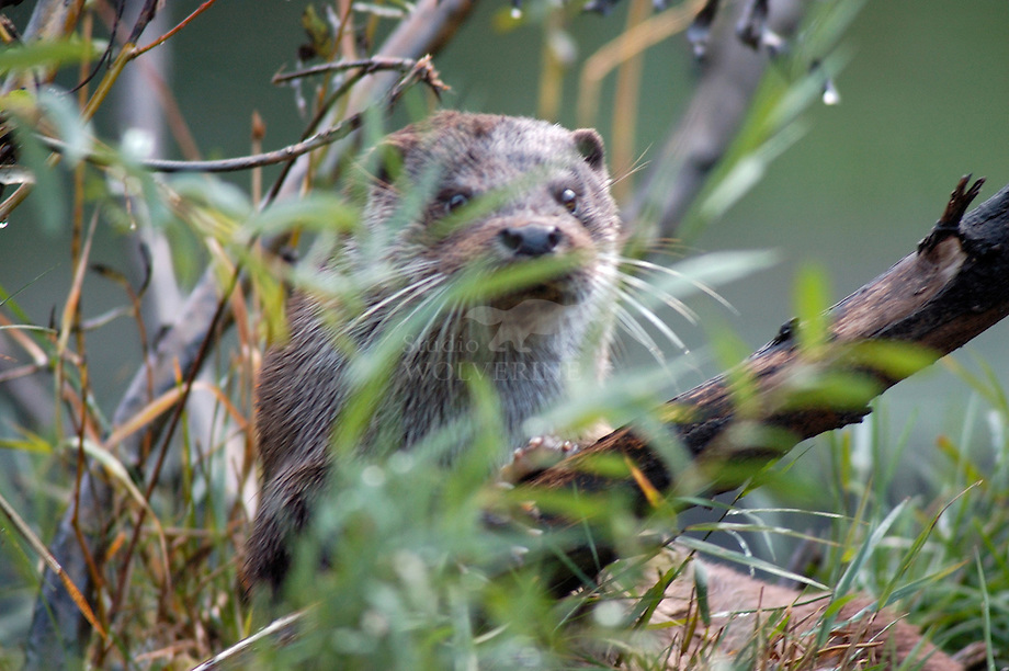 Otter (Lutra lutra) in oevervegetatie