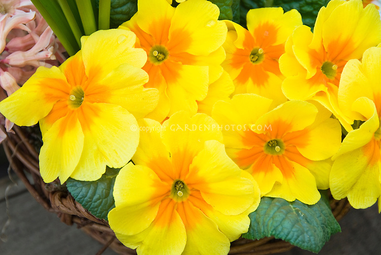 Pin flowers of yellow and orange primroses plant flower stock primula yellow gold orange vulgaris pin flower mightylinksfo