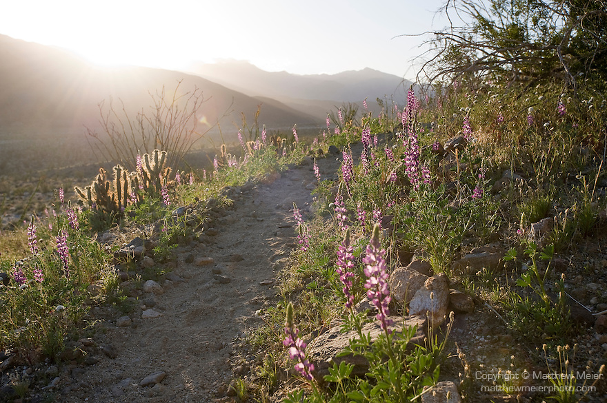 Anza-Borrego Desert State Park, Borrego Springs, California; flowering Arizona Lupine (Lupinus arizonicus) plants and cactus line a hillside walking trail, backlit by late afternoon sunlight