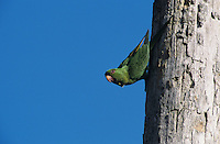 Green Parakeet, Aratinga holochlora, adult on palm tree, Brownsville, Rio Grande Valley, Texas, USA, April 2001