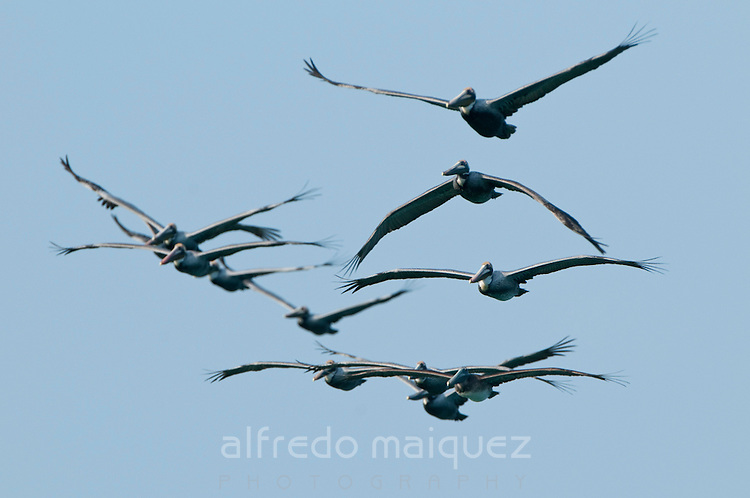 Flock of brown Pelicans (Pelecanus occidentalis carolinensis) on fly over Pacheca Island shore. Las Perlas Archipelago, Panama province, Panama, Central America.