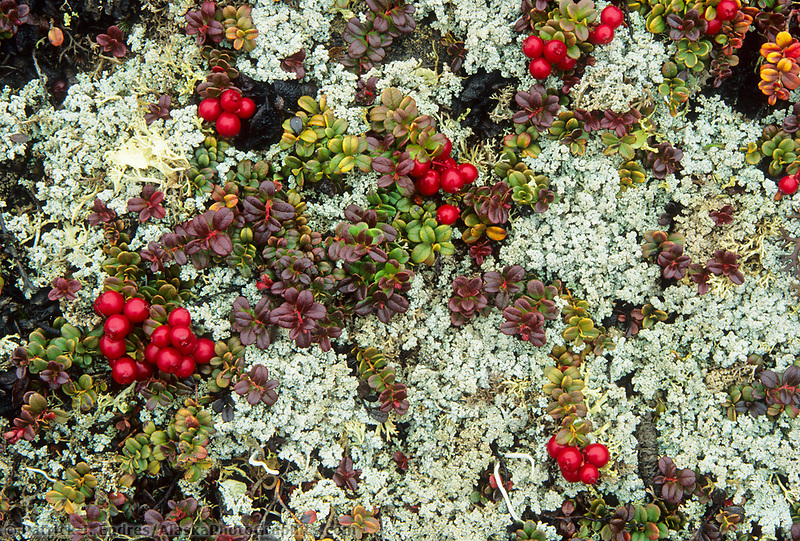 Cranberries and lichen, Denali National Park, Alaska