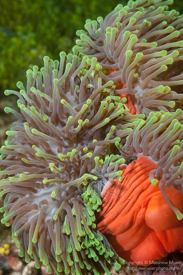 Nemo Thila, Maarehaa Island, Huvadhoo Atoll, Maldives; a red and green Magnificent Sea Anemone