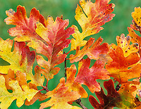 Fall colored Oregon White Oak leaves. Near Alpine, Oregon