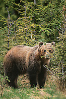 Grizzly Bear (Ursus arctos). June, Northern Rockies.