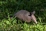 Brazoria County, Damon, Texas; a juvenile Armadillo foraging for food in the tall, green grass on a sunny afternoon