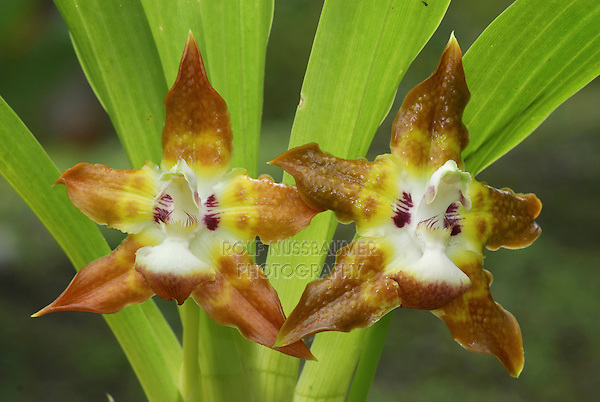 Orchid flowers (Maxillaria), blooming, Costa Rica.