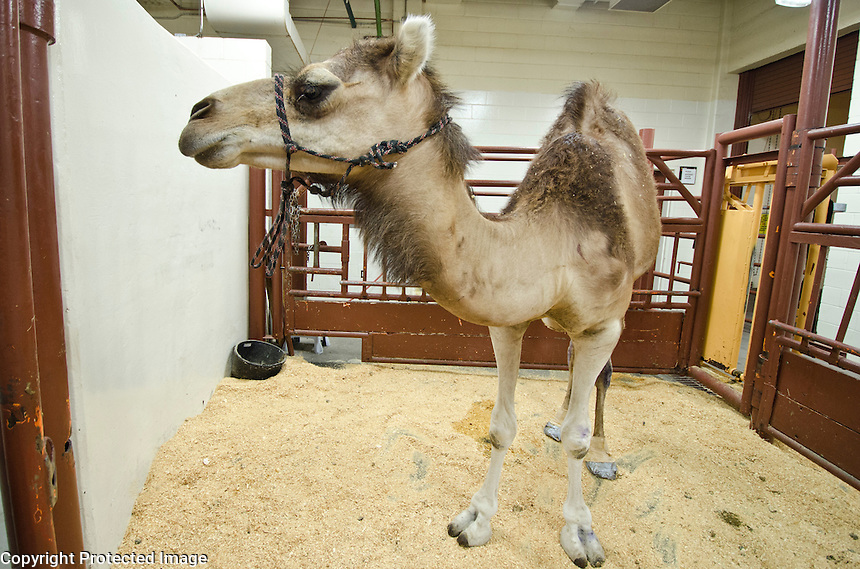 Camel visit