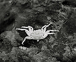 August, 2005. A crab at the beach near the surfing village of Troncones, in Guerro, Mexico.