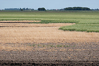 26.5.2020 Failed Winter Barley sprayed off after the wet Autumn and Winter of 2019  <br /> ©Tim Scrivener Photographer 07850 303986<br />      ....Covering Agriculture In The UK....