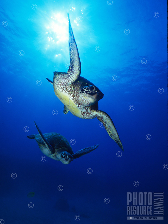"Endangered Green Sea Turtles can commonly be seen in the clear,blue Hawaiian waters. Their Hawaiian name is """"Honu"""". Scientific name (Chelonia mydas)"