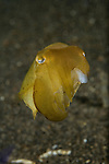 Cuttlefish missing several arms, Sepia sp., Lembeh Strait, Bitung, Manado, North Sulawesi, Indonesia, Pacific Ocean