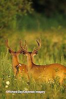 01982-03111  White-tailed Deer (Odocoileus virginanus) bucks in velvet, TN