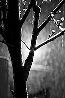 Silhouette of a Tree with Iced over branches during a snowstorm