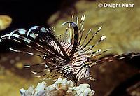 TP03-001z  Lionfish - Turkeyfish or Volitans - Pterois volitans