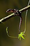 Central American Banded Gecko (Coleonyx mitratus), Costa Rica. Captive.