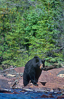 609652014 a wild american black bear ursus americanus along the shoreline of a large lake in the northwest territories in canada