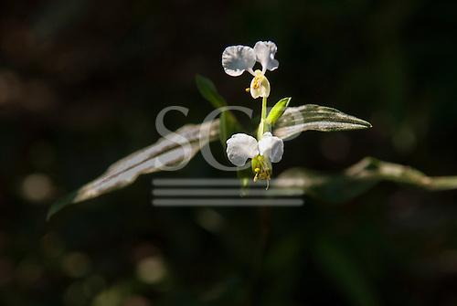 Fazenda Bauplatz, Brazil. Commelina sp. flower; white with yellow stamens.
