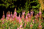 AK: Alaska Denali National Park, Fireweed flower  .Photo Copyright: Lee Foster, lee@fostertravel.com, www.fostertravel.com, (510) 549-2202.Image: akdena231