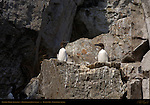 Common Murre, Thin-billed Murre, Common Guillemot, Duck Island, Puffin Island, Tuxedni Bay, Cook Inlet, Alaska