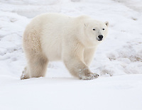 Polar Bear walking over a snowy hill