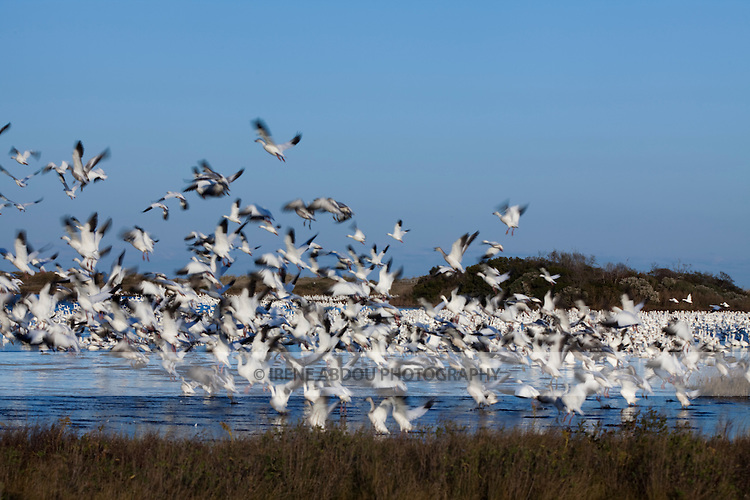 Thousands of snow geese at Chincoteague National Wildlife Refuge on Assateague Island, Virginia, begin their simultaneous takeoff.