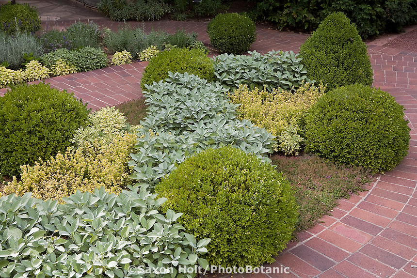 Brick path around boxwood (Buxus) shrub mounds in herb garden with colorful foliage gray leaf sage (Salvia officinalis 'Berggarten'), 'Norton's Gold' golden oregano, and creeping Thyme (Thymus serpyllum)