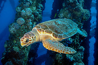 loggerhead sea turtle, Caretta caretta, swimming thru an oil rig, Texas Flower Gardens National Marine Sanctuary, Gulf of Mexico, off Texas, Atlantic