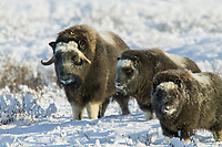 Musk ox cow and two calves of the year, Arctic, Alaska
