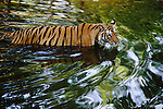 Bandhavgarh National Park, India; Tigress Wading Across Creek in India