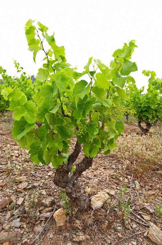 Goblet pruned vines in the vineyard. Grenache. Domaine Boucabeille, Corneilla la Riviere, Roussillon, France