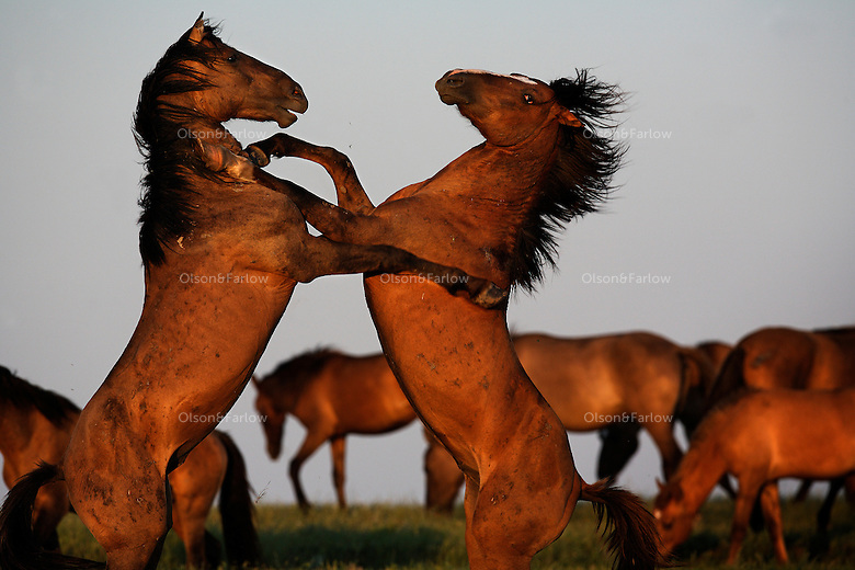 Stallions fiercely battle for dominance and mares. These fighting studs are part of the Gila herd that genetic testing shows descend from horses brought by the Spanish Conquistadors. <br /> <br /> The Gilas are mostly dun colored with a black dorsal stripe, black main and tail, and many have primitive dark zebra stripes on their legs.<br /> <br /> The Gila herd was wily and hid in the salt cedars to escape capture for at least 100 years.  Then in 1996, 75 of the horses were gathered with plans to sell them at auction (for consumption in Europe), but ISPMB stepped in and rescued the entire herd.<br /> <br /> The herd was rescued by Karen Sussman of the International Society for the Protection of Mustangs and Burros.  The first president of that organization was Velma Johnston, &quot;Wild Horse Annie,&quot; who is responsible for 1971 legislation that first protected wild horses and burros.