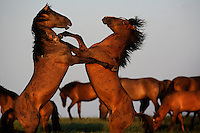 Mustangs-WILD AT HEART