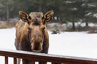 A cow moose apprcoaches my back deck giving the appearance of bellying up to the bar during a winter day in Kenai, Alaska.