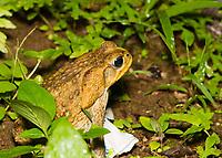 Cane Toad, Rhinella marina (formerly Bufo marinus) , at Tirimbina Biological Reserve, Costa Rica