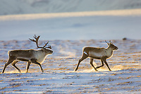 Caribou on the Arctic tundra north of the Brooks Range, Arctic, Alaska