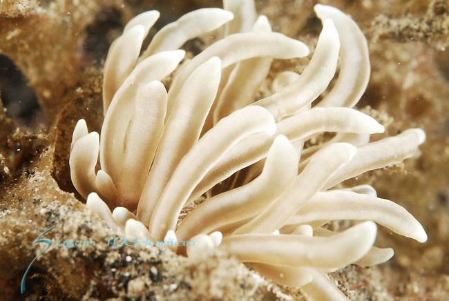 Great Phyllodesmium , Phyllodesmium magnum, Anilao, Batangas, Philippines, Amazing underwater Photography