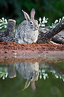 Cottontail Rabbit with relection
