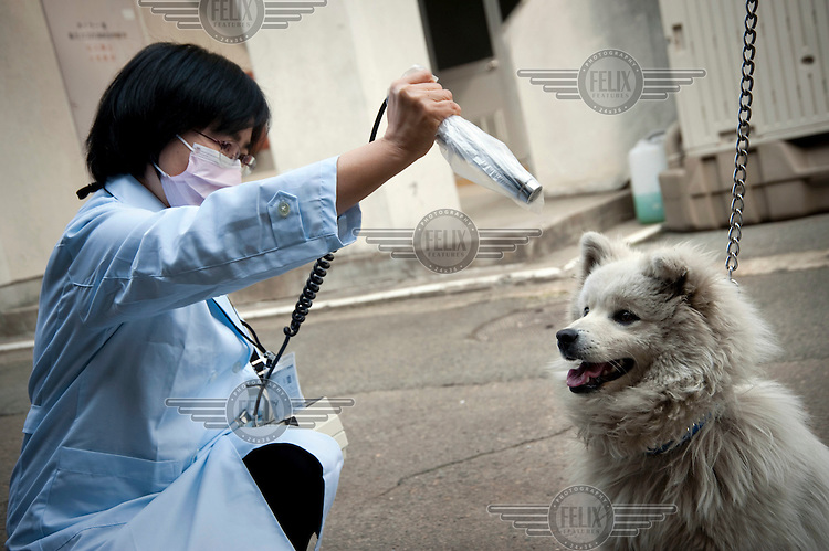 A pet dog is tested for radioactive contamination at a health centre in Yamagata. The animal's owners were living 25kms from the Fukushima nuclear power plant damaged by the 11 March earthquake and Tsunami. They were evacuated to Yamagata some 98kms from Fukushima. On 11 March 2011 a magnitude 9 earthquake struck 130 km off the coast of Northern Japan causing a massive Tsunami that swept across the coast of Northern Honshu. The earthquake and tsunami caused extensive damage and loss of life and damaged reactors at the Fukushima nuclear power plant.