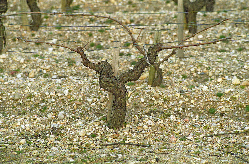 Guyot pruned vines in the vineyard. Sand. Medoc, Bordeaux, France