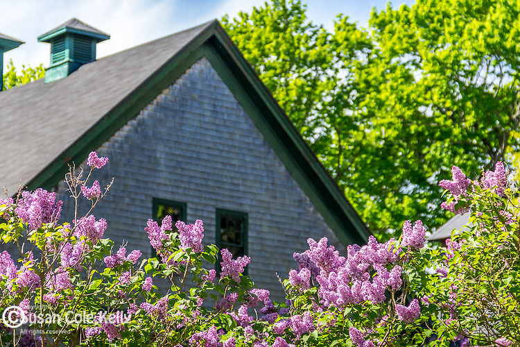 Lilacs at Maudslay State Park in Newburyport, Massachusetts, USA
