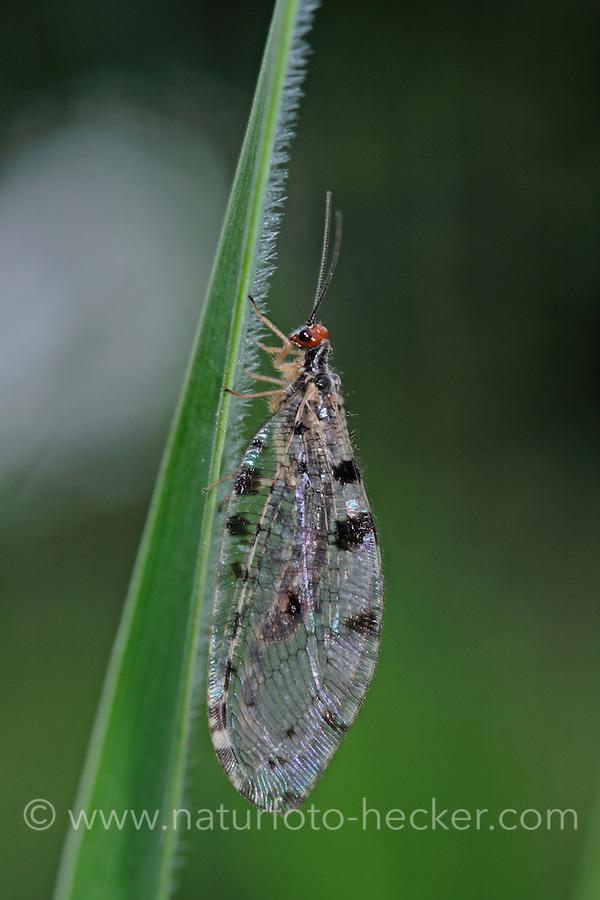 Europäischer Bachhaft, Bachhafte, Osmylus fulvicephalus, Osmylus chrysops, osmylid fly, Giant lacewing stream, Osmyles