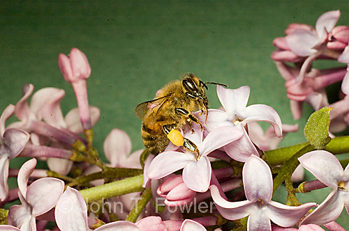 Honey bee Apis mellifera feeding on lilac