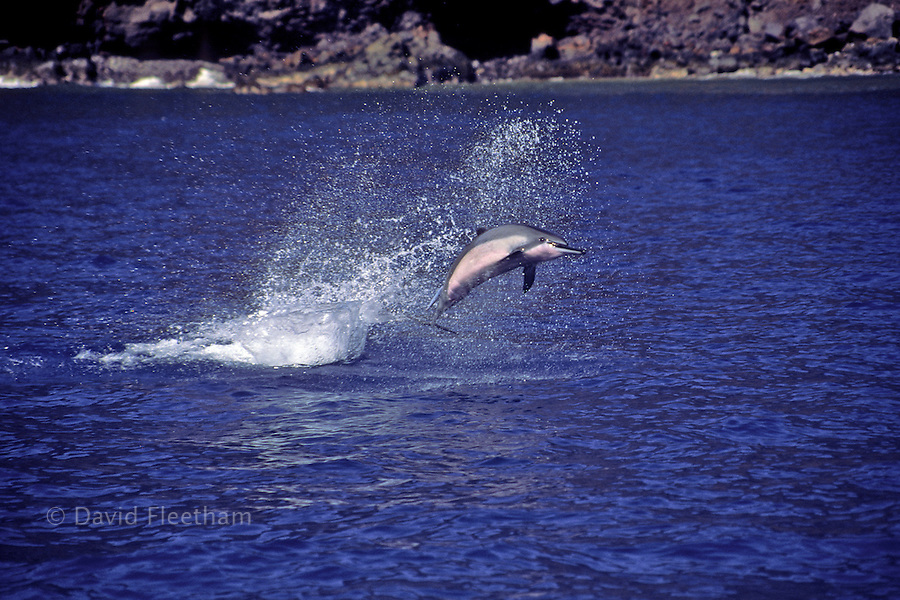 A spinner dolphin, Stenella longirostris, with attached remora leaps into the air. Hawaii.