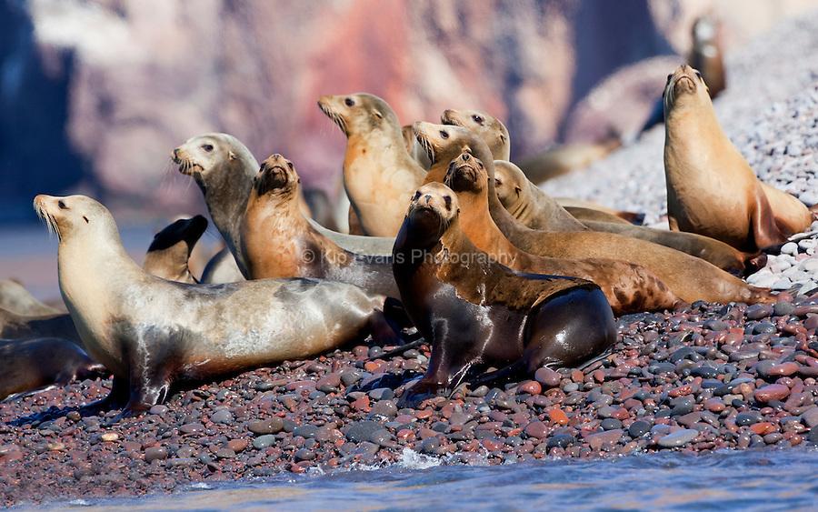 California Sea lions (Zalophus californianus) sun themselves on the rocks along the coast of Kino Bay, Mexico.
