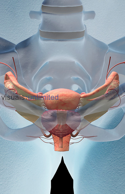 A superior anterior view of the female reproductive organs relative to the skeleton. The bladder is also included. Royalty Free
